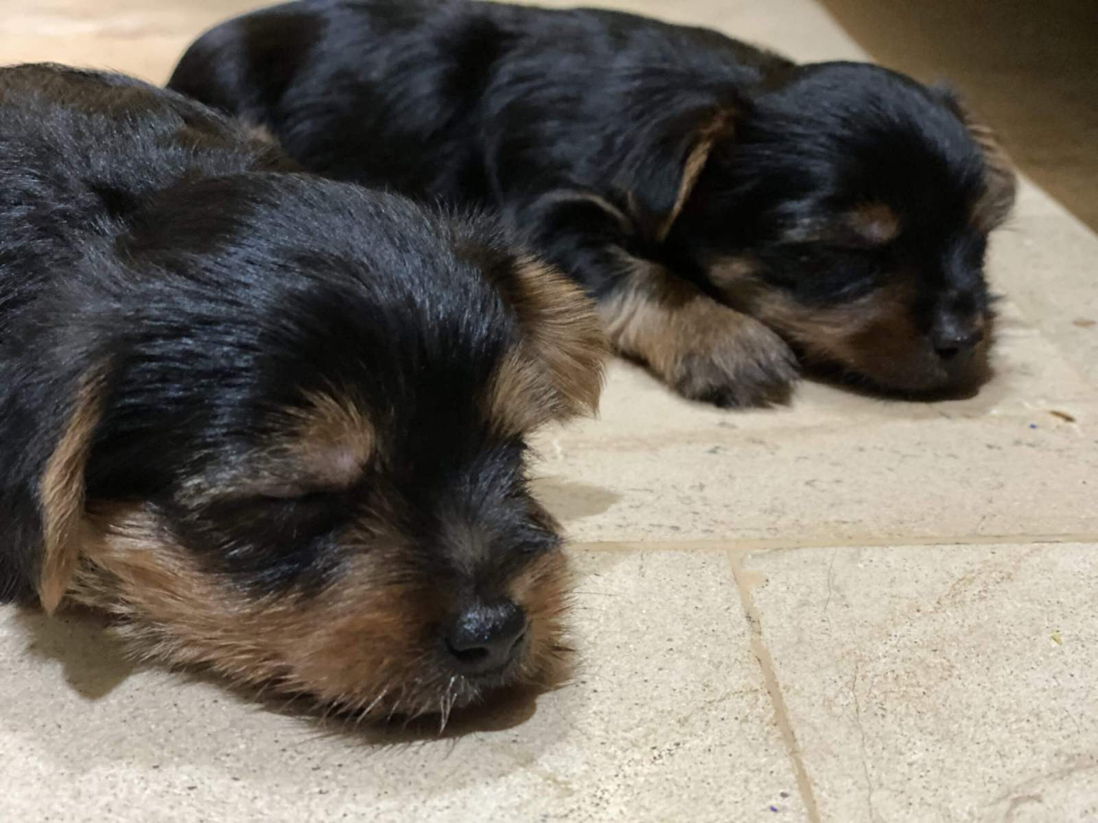 Yorkshire terrier products