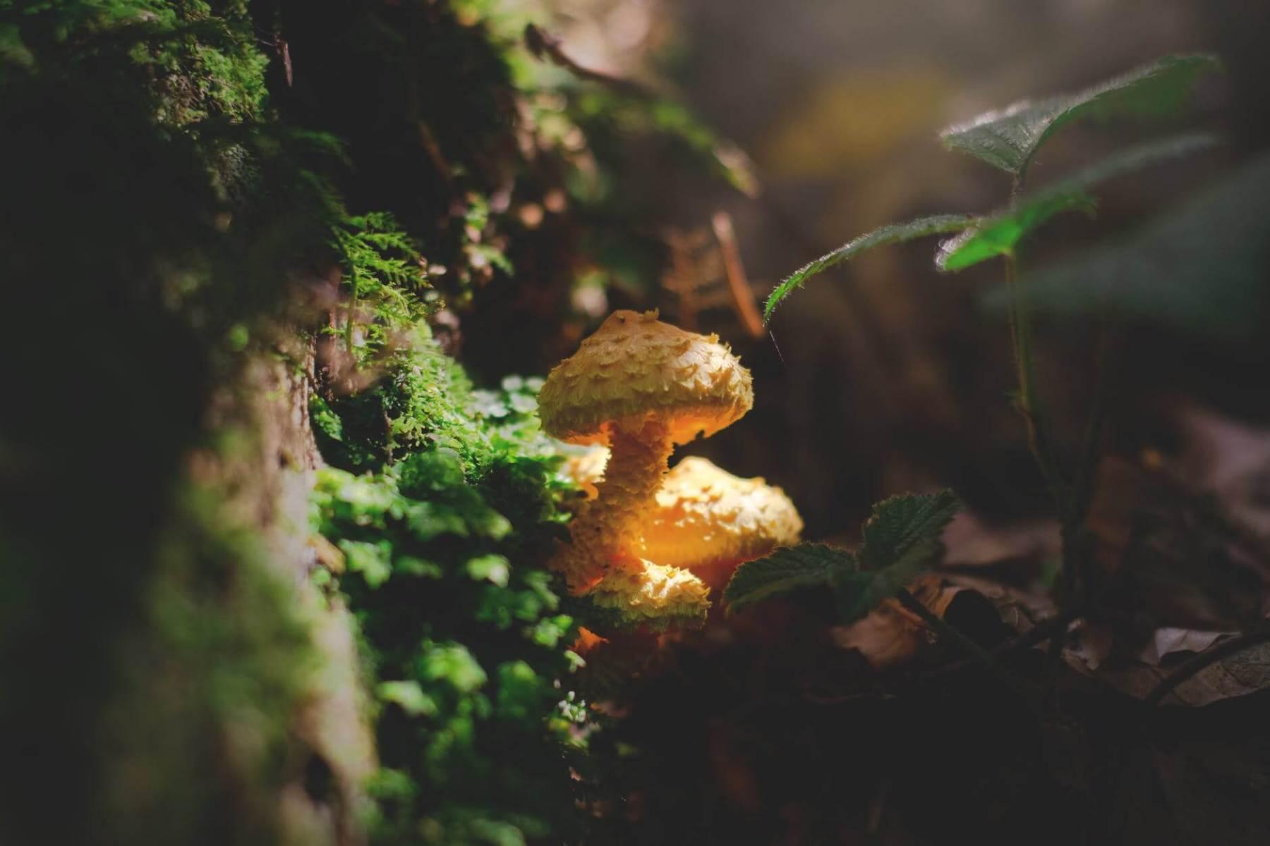 yellow mushroom beside moss