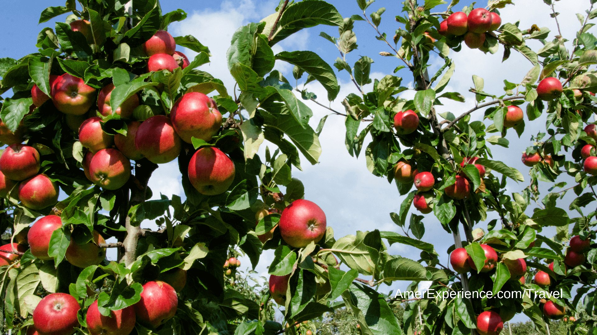 Cider harvesting in Herefordshire: 'the fruit is always in charge'